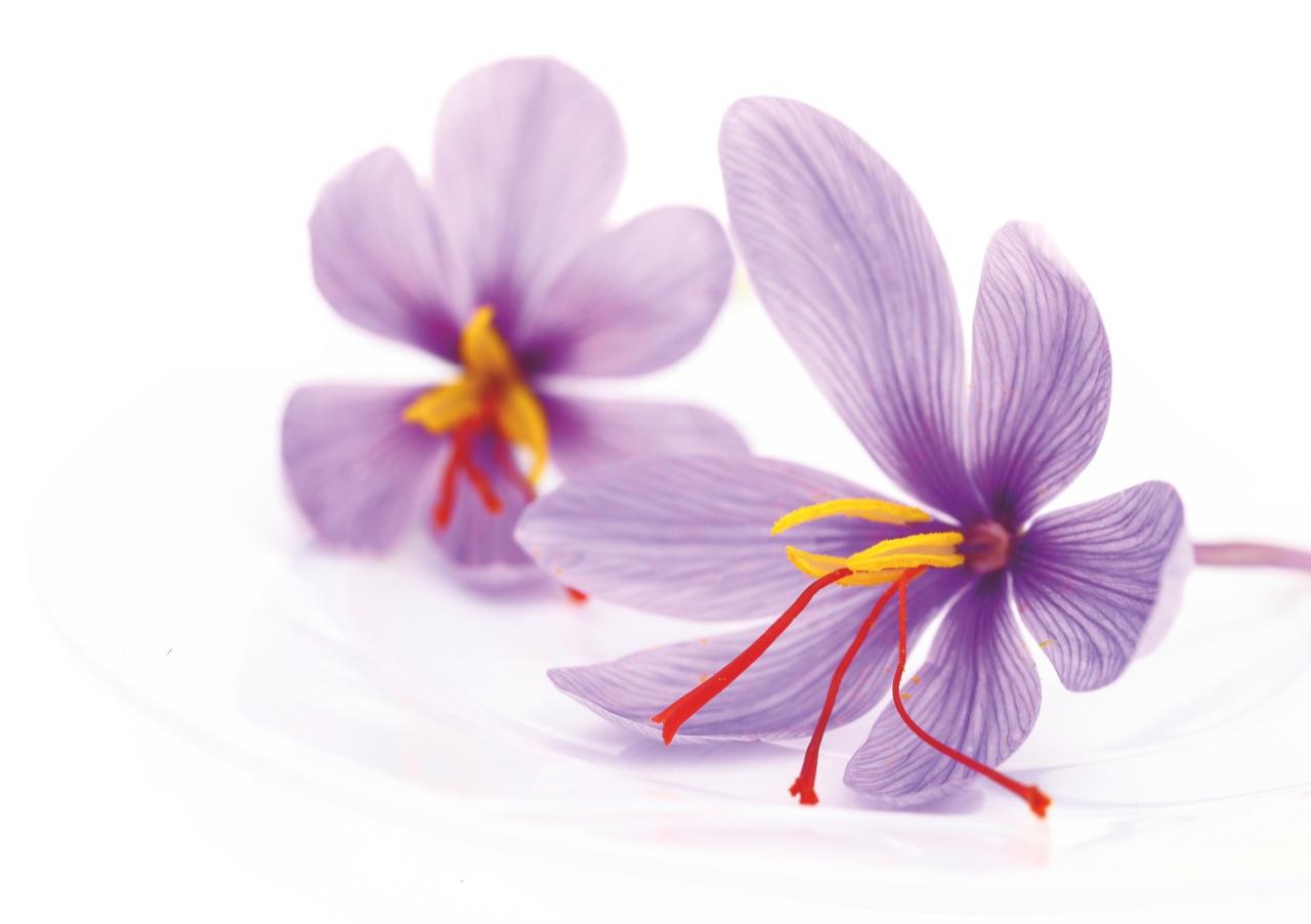Żeby uzyskać kilogram szafranu, trzeba przetworzyć200 tys. kwiatów krokusa.