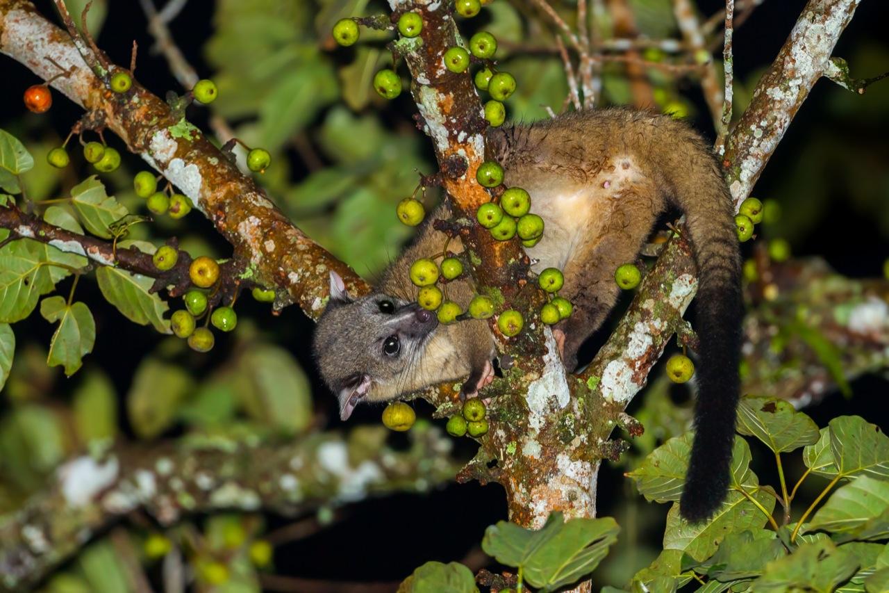 Apetyt tego miłego stworzonka –cywety – przekłada się wprost nacenę kawy Kopi Luwak...