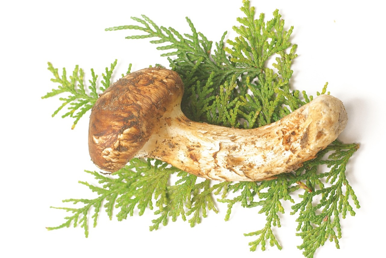 Grzyby matsutake są cenionym japońskim przysmakiem.