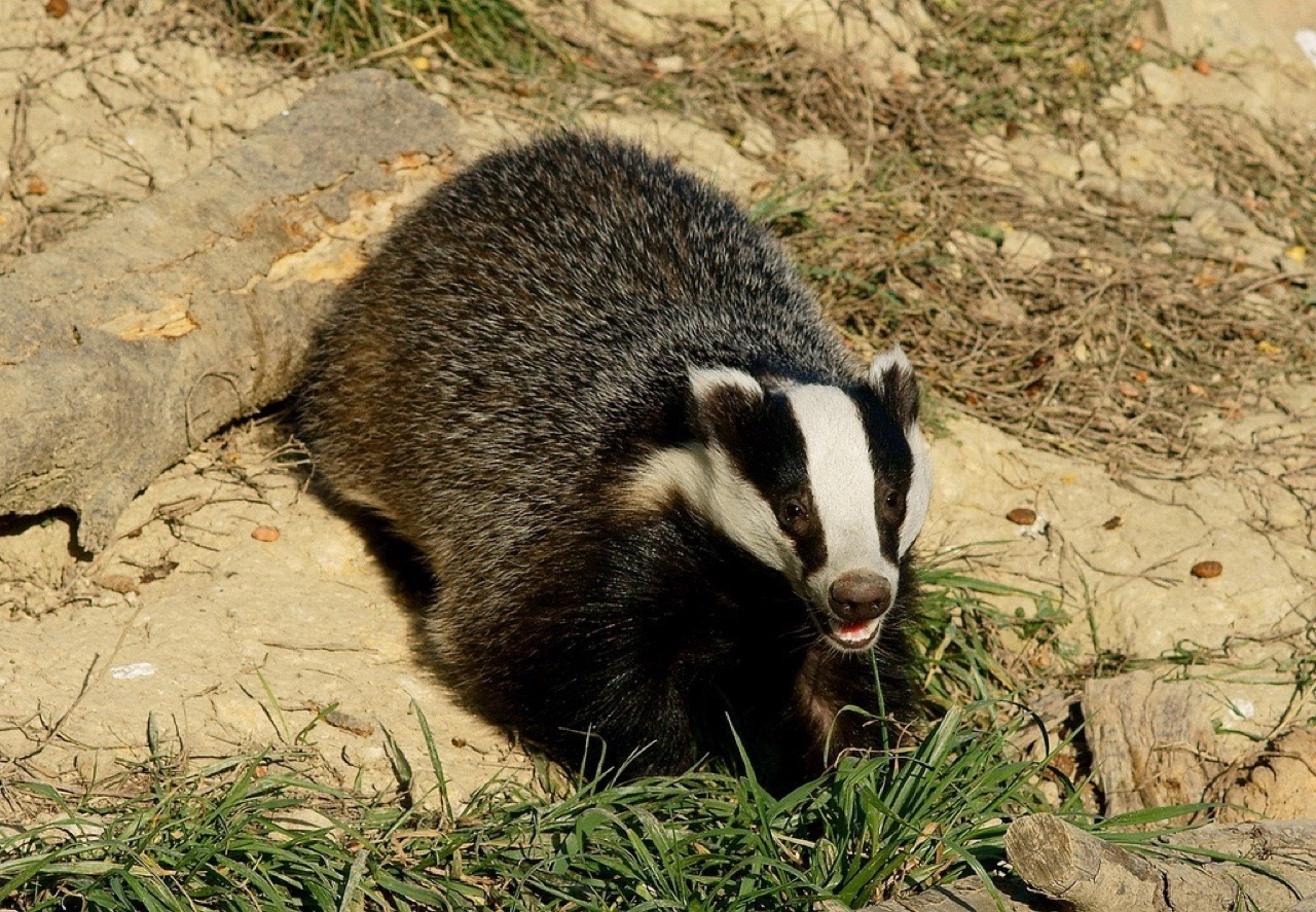 "Taki oto borsuk ""odkrył"" średniowieczne groby słowiańskich władców. / Foto: ""'Honey' the badger"" by Peter Trimming - Flickr: 'Honey'. Licensed under CC BY 2.0 via Wikimedia Commons"