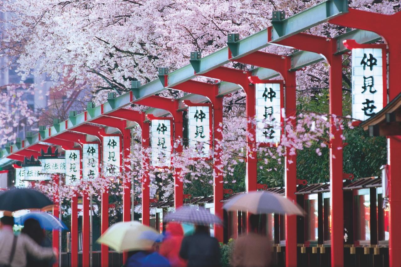 Kwitnące wiśnie wTokio – widok wart zobaczenia.